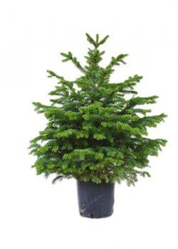 Árbol de navidad natural